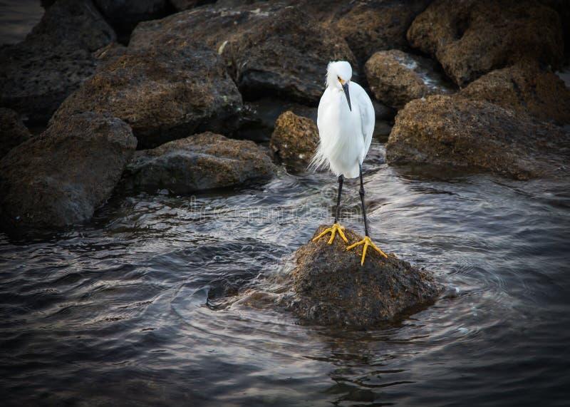 Egret Snowy 2 стоковые фото