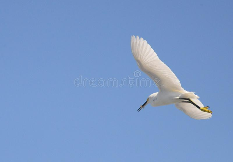 An Egret Soars Above the Warm and Sunny Boca Beach. The Egret Spends All day Looking for Fresh Fish Along the Boca Beach Coastline royalty free stock photo