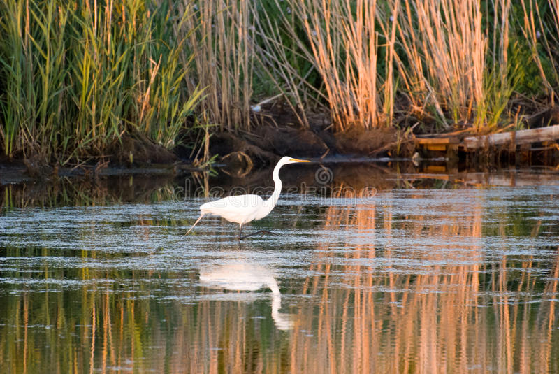 Egret in sound at sunset near Currituck, Outer Banks, North Carolina royalty free stock photography