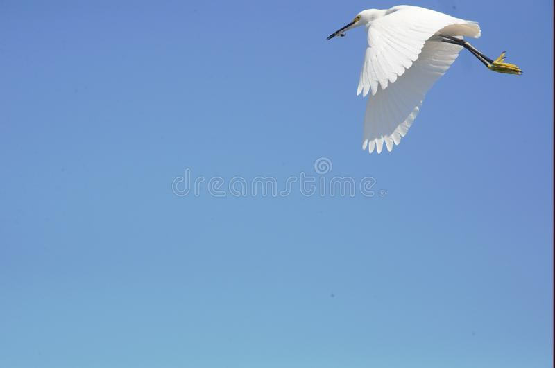 An Egret Flies Along the South Florida Beach Shoreline Looking for a Tasty meal. The Egret Spends All day Looking for Fresh Fish Along the Boca Beach Coastline royalty free stock photos