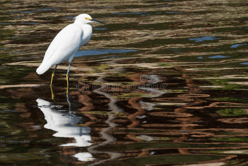 Egret Stalks its Prey royalty free stock photo