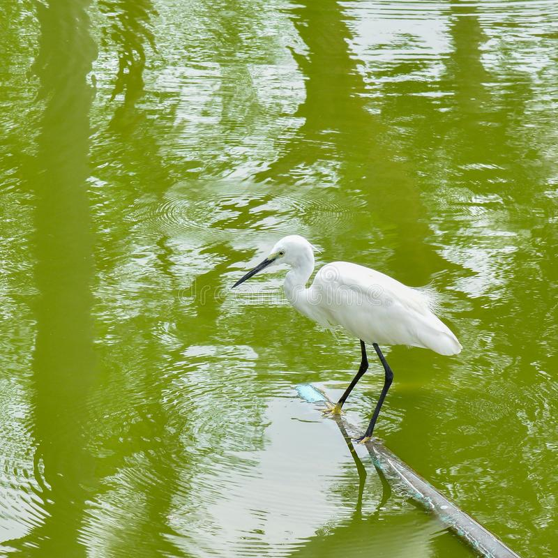 Egret standing with calm still waiting to catch fish royalty free stock images
