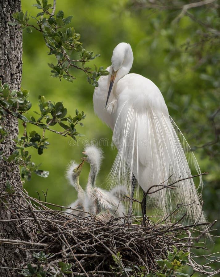 egret stora florida royaltyfri bild