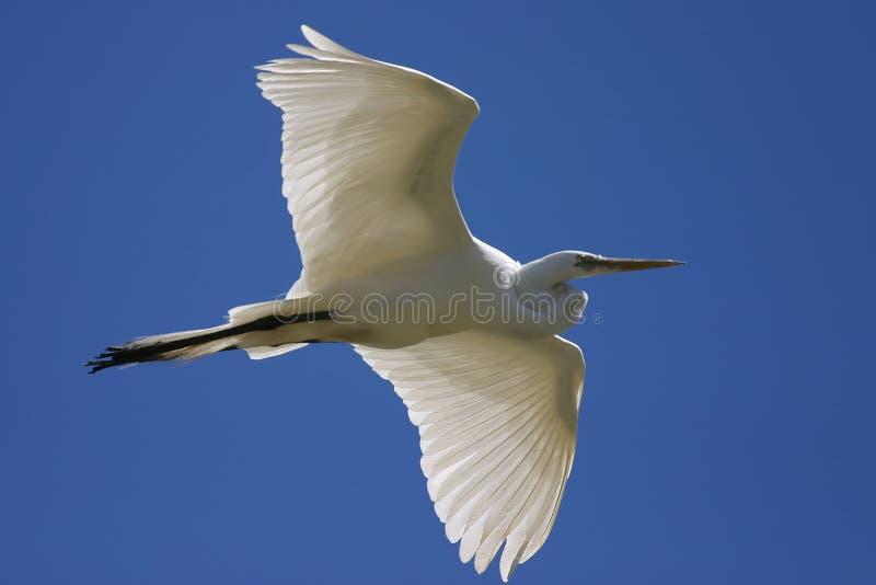 egret szybować zdjęcia stock