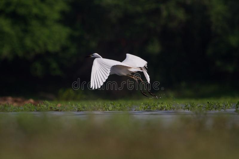 Egret- take off stock photography