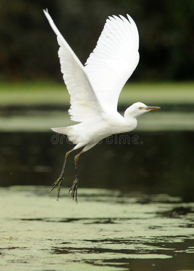 Egret takes off in the river. An egret takes off in the river royalty free stock photos