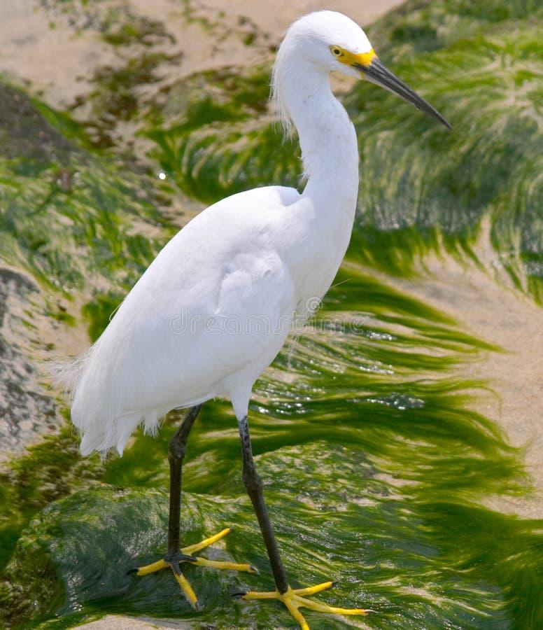 egret thula egretta śnieg obraz stock