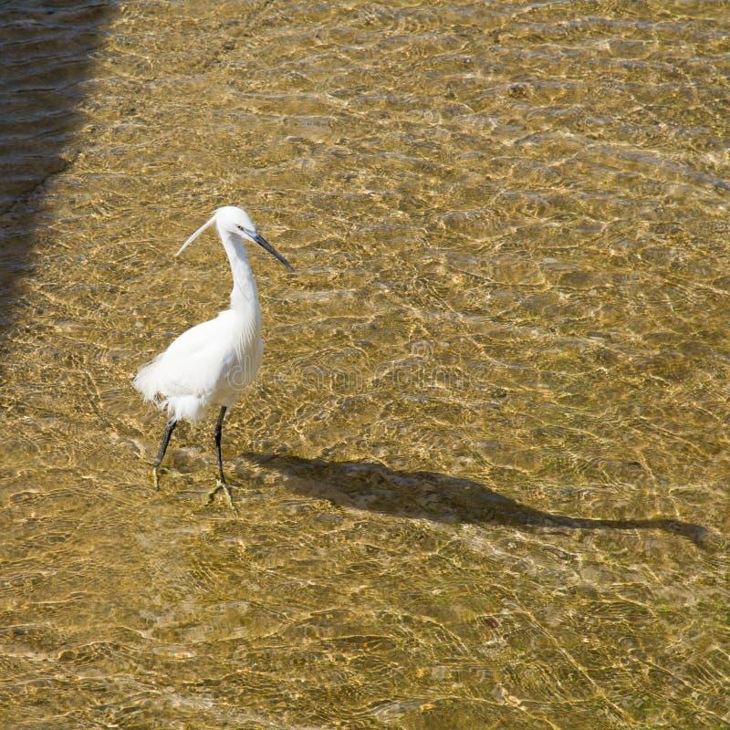 egret trochę fotografia stock
