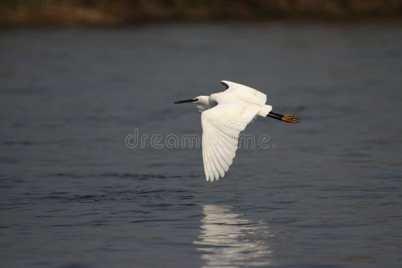 egret trochę fotografia royalty free