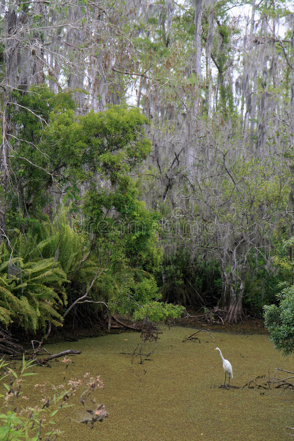 Egret in una palude del Cypress fotografia stock