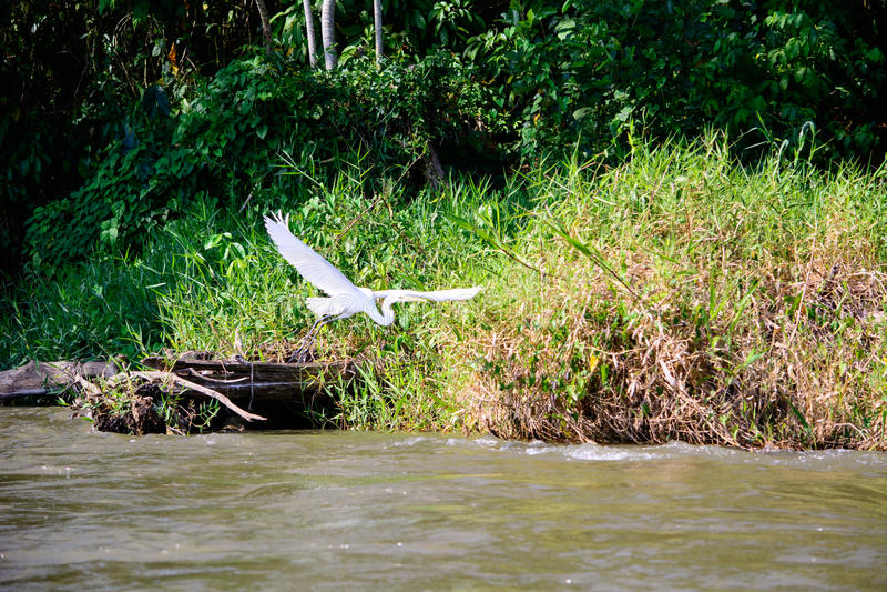 Egret w locie fotografia stock