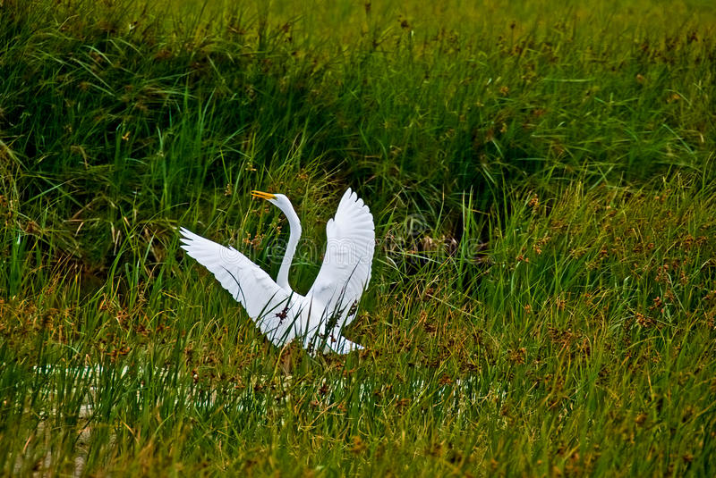 Egret in wetland royalty free stock photos