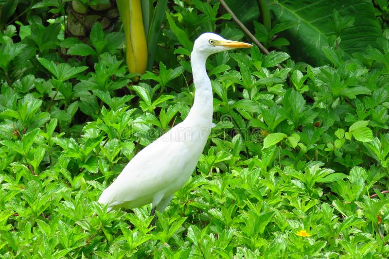 Great egret Ardea alba or great white heron in Moir Gardens, Kauai, Hawaii. Egret white heron with yellow beak surrounded by lush green plants in Moir Gardens stock photography