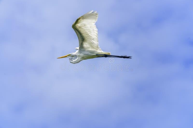 egret wielki bia?y samolot zdjęcia stock