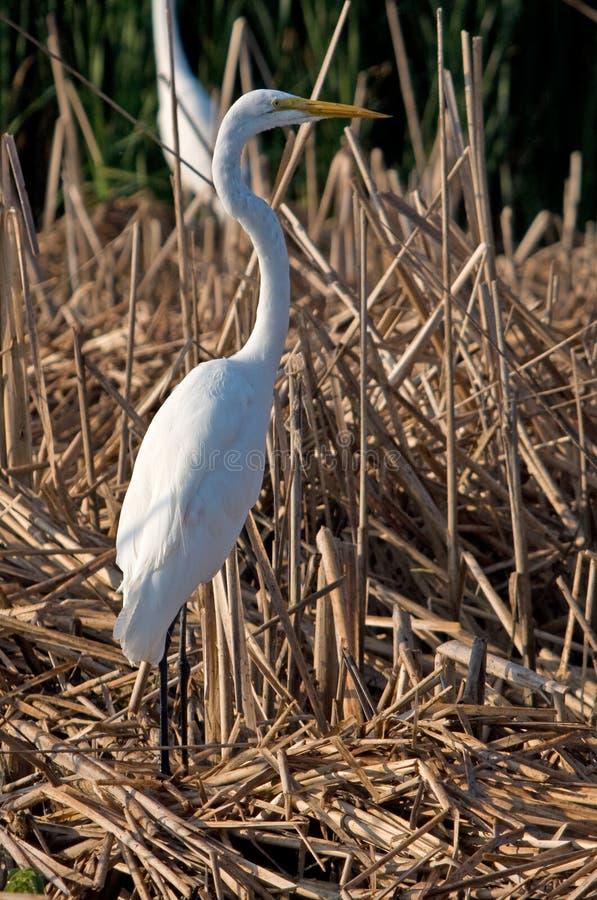 egret wysoki wielki trwanie fotografia royalty free