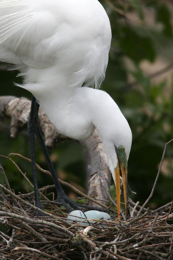 Egret y huevos fotografía de archivo