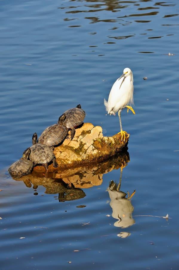Egret y tortugas en roca imagen de archivo