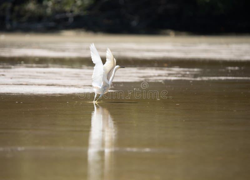 egretflyg som tar white arkivbilder