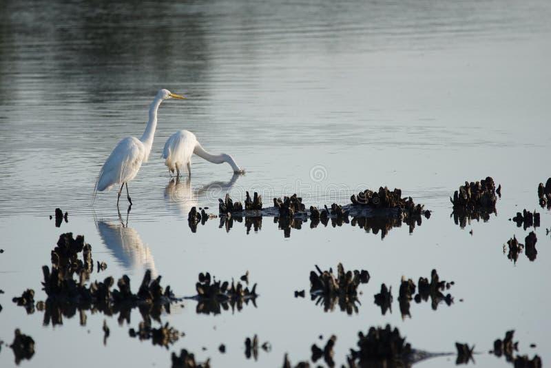 egrets большие стоковое изображение