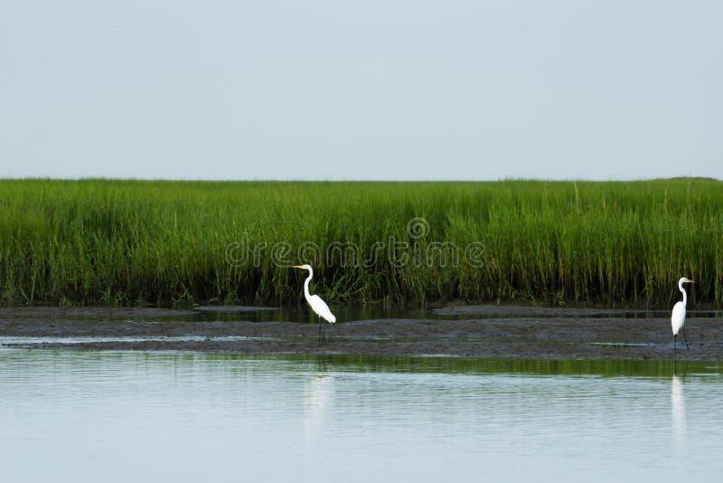 egrets большие стоковое фото