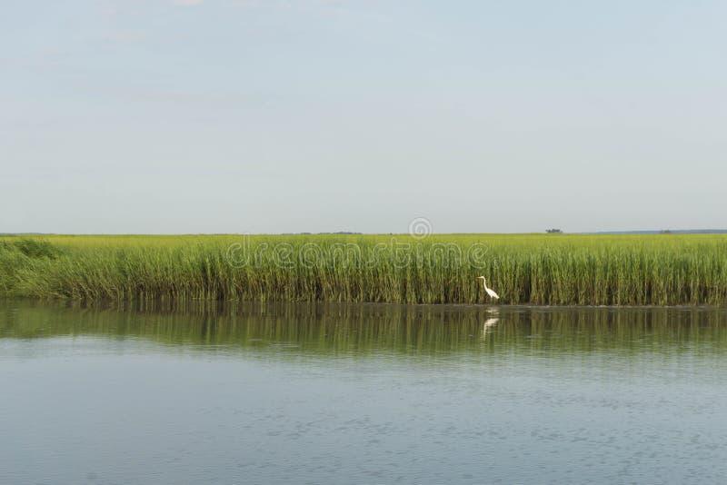 egrets большие стоковые фотографии rf