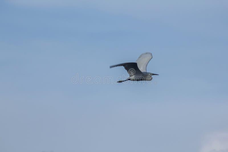 Egrets летают в небо стоковое изображение