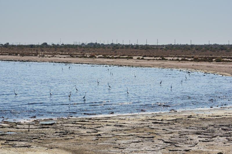 Egrets моря Солтона стоковое фото