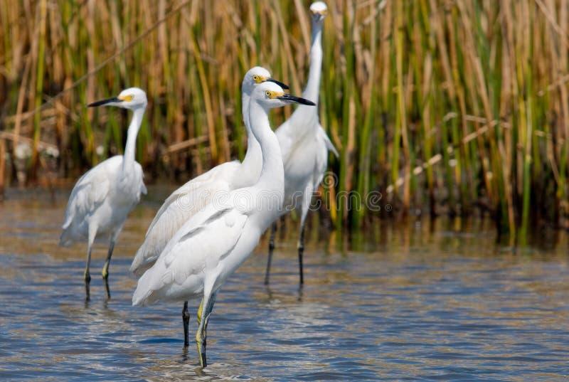 egrets снежные стоковое фото