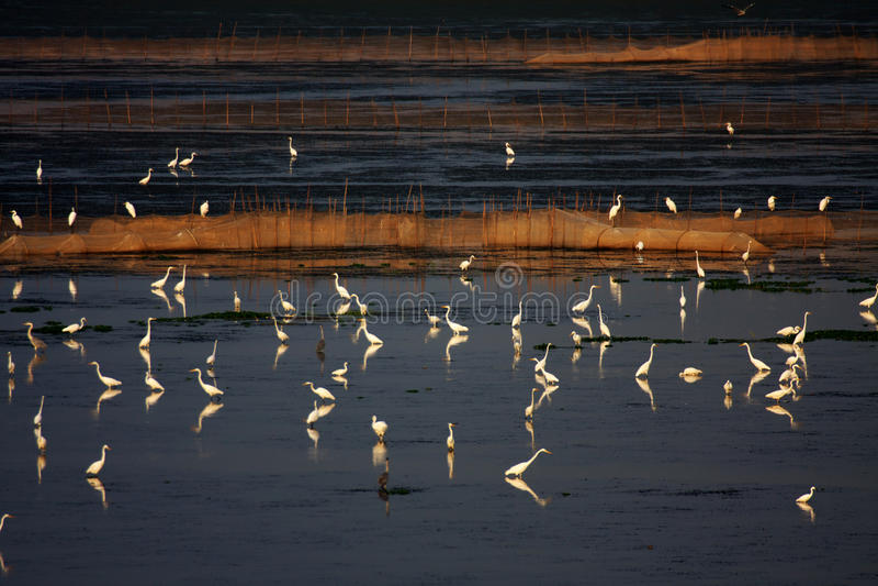 egrets arkivbilder