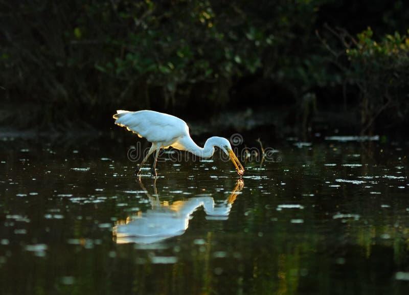 egrets zdjęcie royalty free