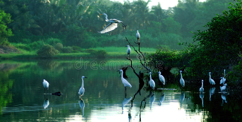Egrets imagem de stock royalty free