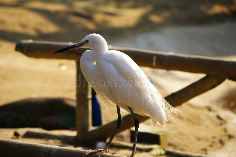 egrets stock afbeelding
