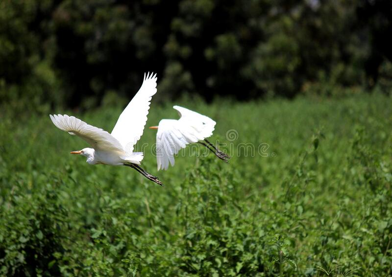 Egrets above wetland royalty free stock images
