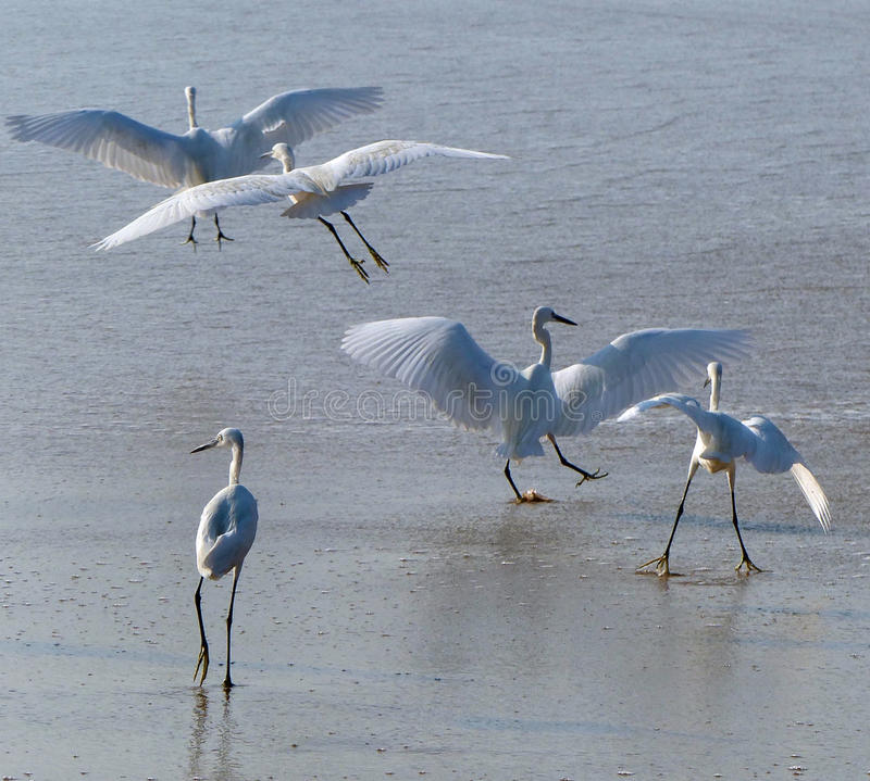 Egrets on the beach stock photography