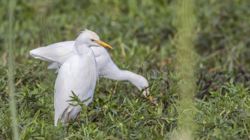 Egrets de gado que alimentam no prado fotografia de stock