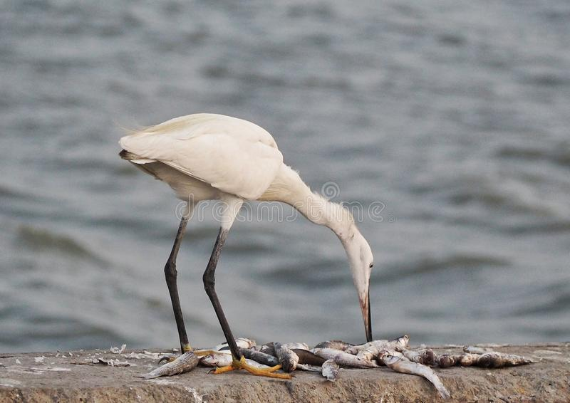 Egrets royalty free stock image