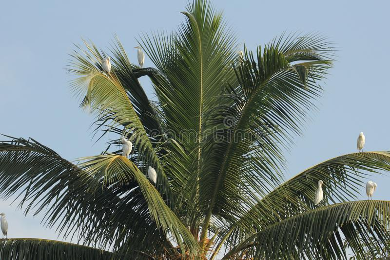Egrets em uma palmeira foto de stock