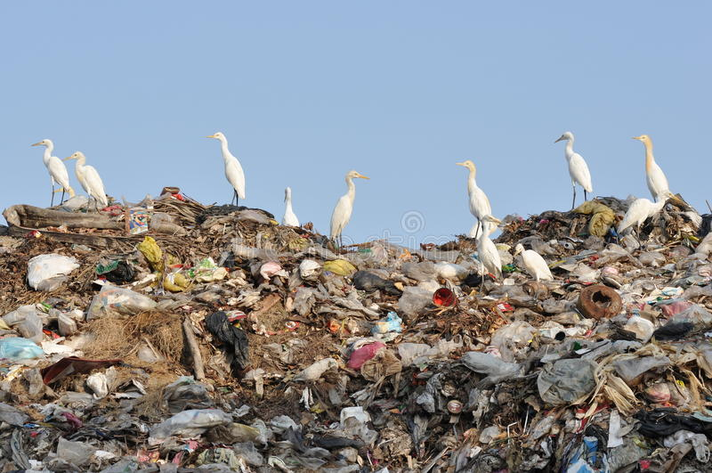Egrets on the garbage heap stock photography