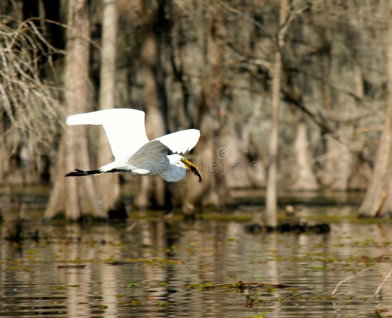 Egrets? I`ve had a few. stock photos