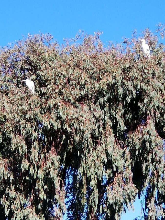 Egrets nevado imagens de stock royalty free