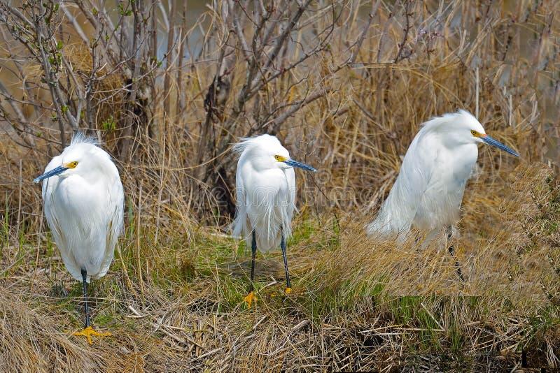 Egrets nevado fotografia de stock