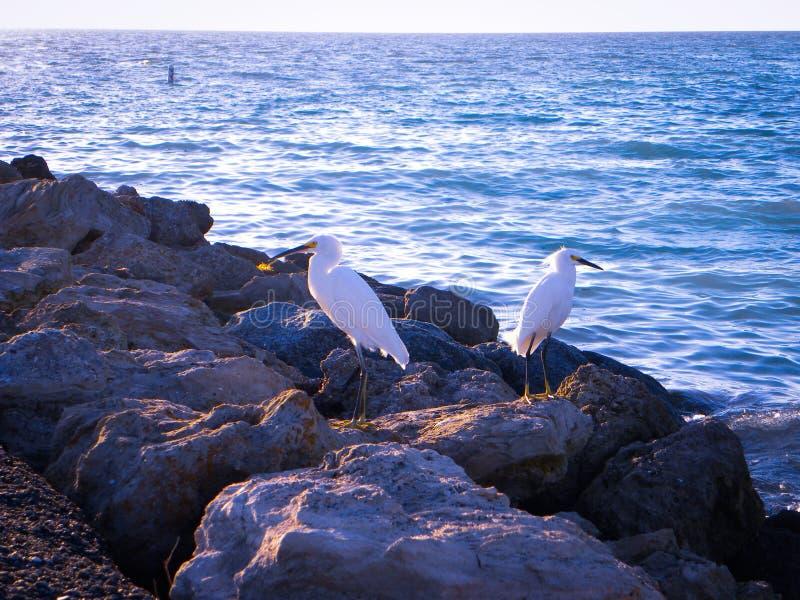 Egrets nevado fotos de stock royalty free