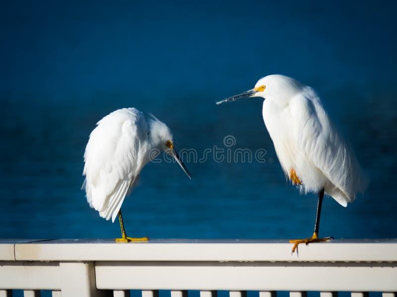 2 egrets nevado imagens de stock royalty free