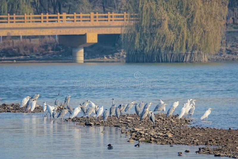 Egrets no rio fotos de stock
