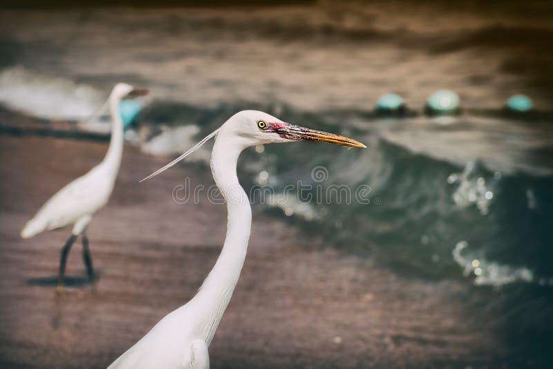 Egrets pequenos (garzetta do Egretta) ao longo da linha costeira em Egito imagem de stock royalty free