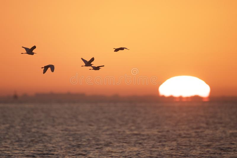 Egrets at sunrise. A flock of egrets flying at the beach at sunrise, silhouetted by the beautiful orange sky. St Petersburg, Florida, USA stock image