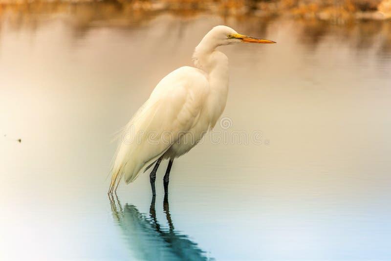 Egrets wczesnego poranku odbicie obraz royalty free