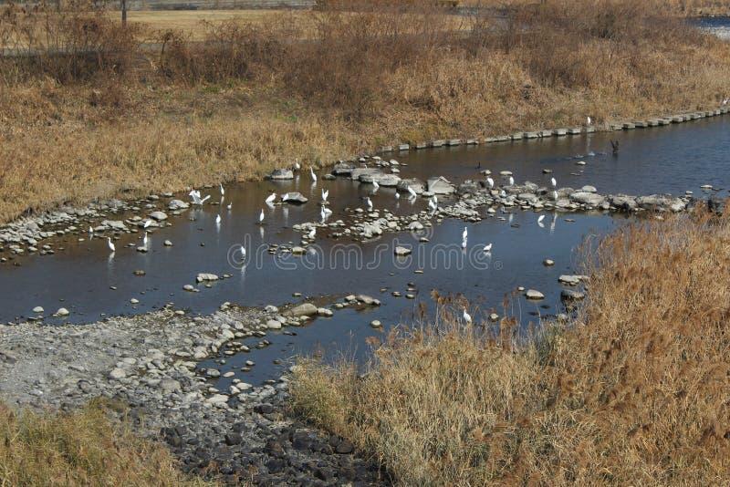 Egrets zbierali przy Kumy rzeką w Japonia obraz stock