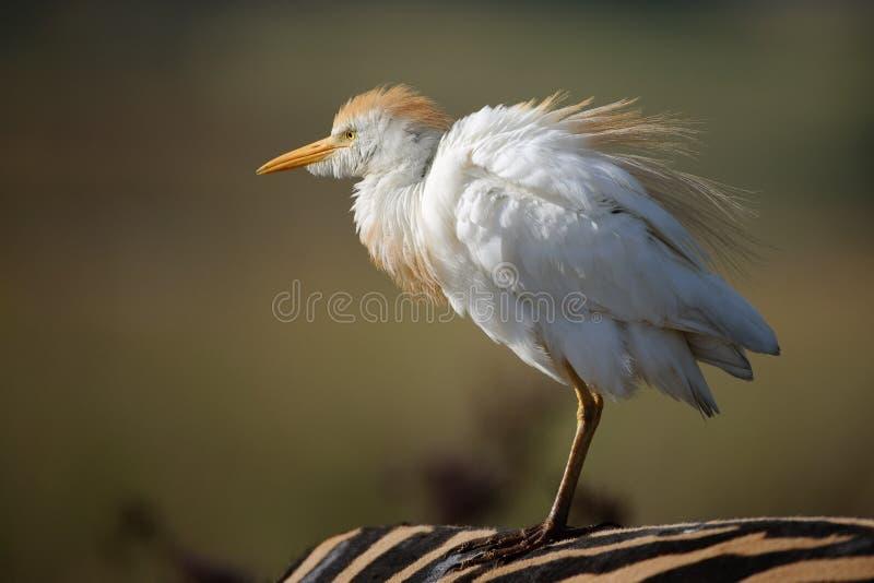egretsebra arkivfoto