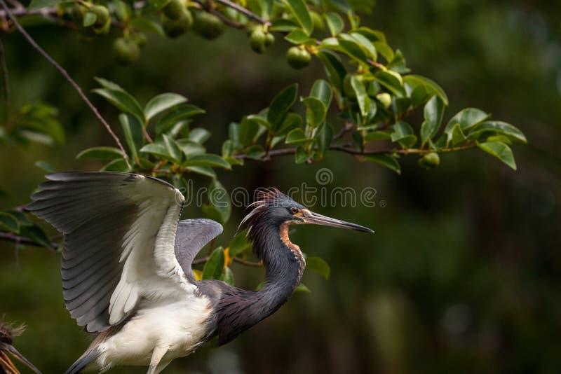 Egretta adulta dell'uccello dell'airone di Tricolored tricolore in un albero fotografie stock libere da diritti